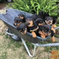 Roztomilé Rottweiler puppy before the new home
