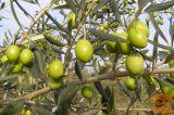Ekstra deviško oljčno olivno olje -Brezplačna dostava LJ