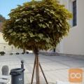 Katalpa - cigarar (okrasno drevo)