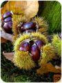 Sadike kostanja (Castanea sativa)