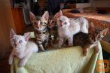Bengalska mačka, mačići