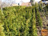 Ciprese thuja smaragd stožčaste višina 60cm
