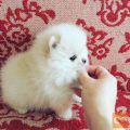 A cup of Pomeranian puppies